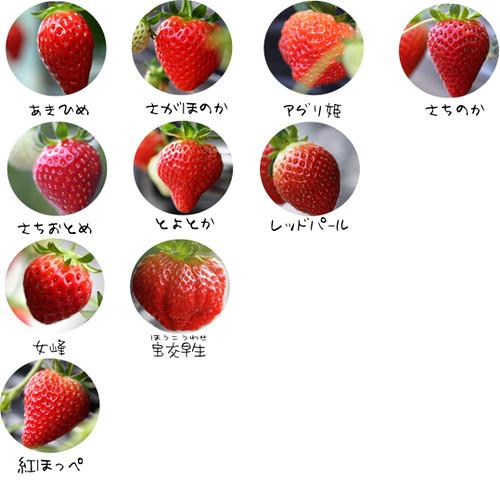 イチゴ狩り 平田観光農園 10種類