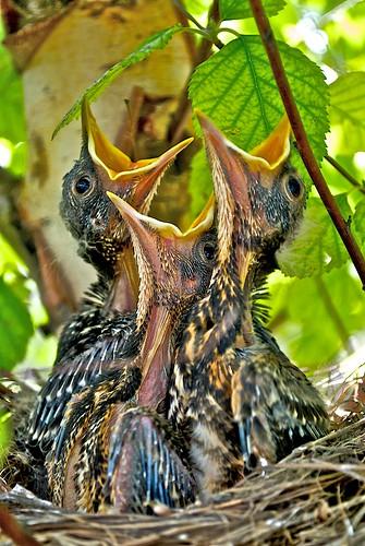 [フリー画像] 動物, 鳥類, ヒタキ科, ヨーロッパコマドリ・ロビン, 雛・ヒナ, 201006040500