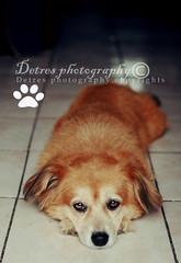 B e l l a (DetresPhoto) Tags: dog pet cindy beauty photography eyes pretty puertorico perro ojos linda bella ponce mascota domestica perrita