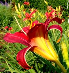 Day lilies, contrast enhanced (Martin LaBar) Tags: flowers flores flower beautiful lily flor southcarolina lirio daylily hermoso lovely hemerocallis liliaceae encantador pickenscounty xanthorrhoeaceae