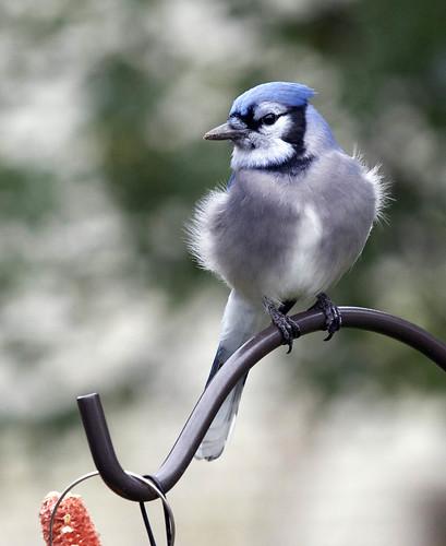 Blue Jay Fluff