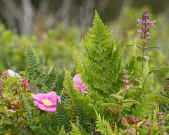 Wild rose and ferns Photo