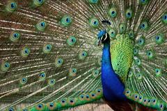 Peacock (John P.C.) Tags: blue ohio male green bird eye gardens botanical zoo bright feather peacock peafowl brillian cincinnat