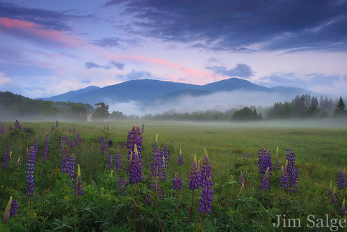 Jim Salge Photography - Presidential Lupines