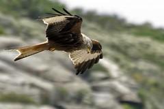 Milvus milvus (JuZa - The Seeker) Tags: detail nature birds iso200 corsica 300mm f80 birdwatching bastia birdwatcher redkite falconiformes milvusmilvus 1250s afsvrzoomnikkor70300mmf4556gifed nikond300 nibbioreale