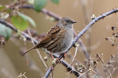 Dunnock (Andy_Hartley) Tags: uk england bird nature birds animals europe wildlife warwickshire brandonmarsh canon450d sigma150500