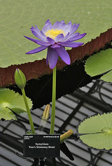 Nymphaea (s andrews) Tags: kewgardens waterlillies nymphaea