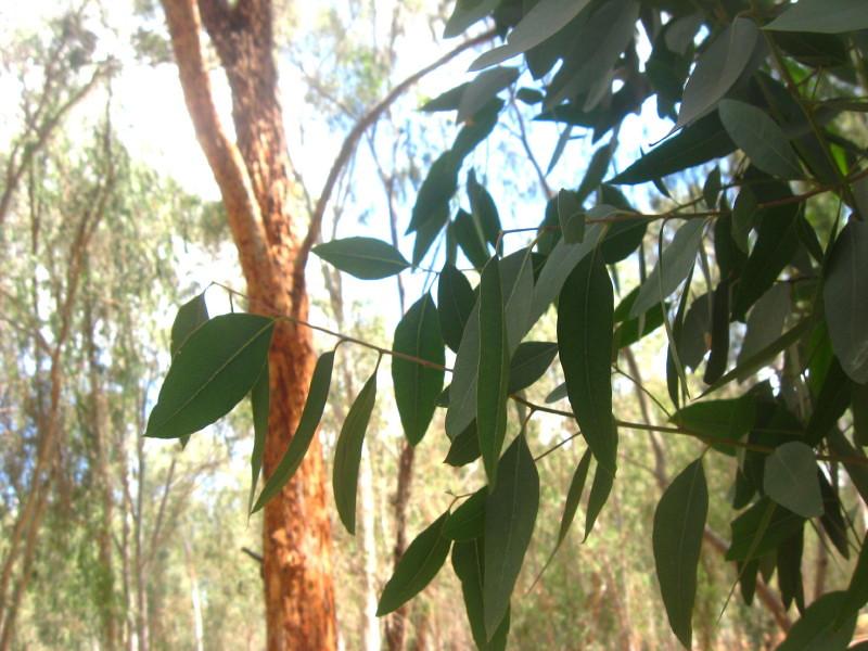 09-06-2010-eucalyptus3