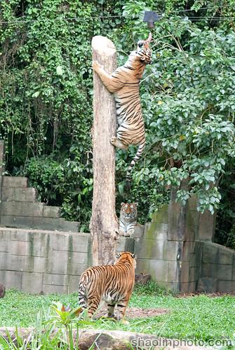 Tigers Feeding