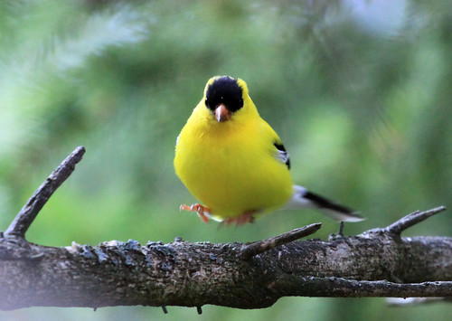 Levitated American Goldfinch