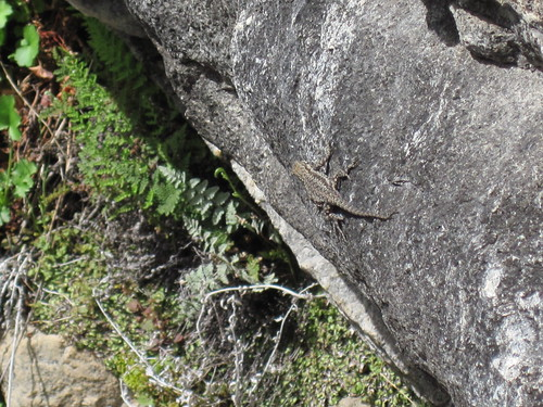 Organ Mountains Lizard