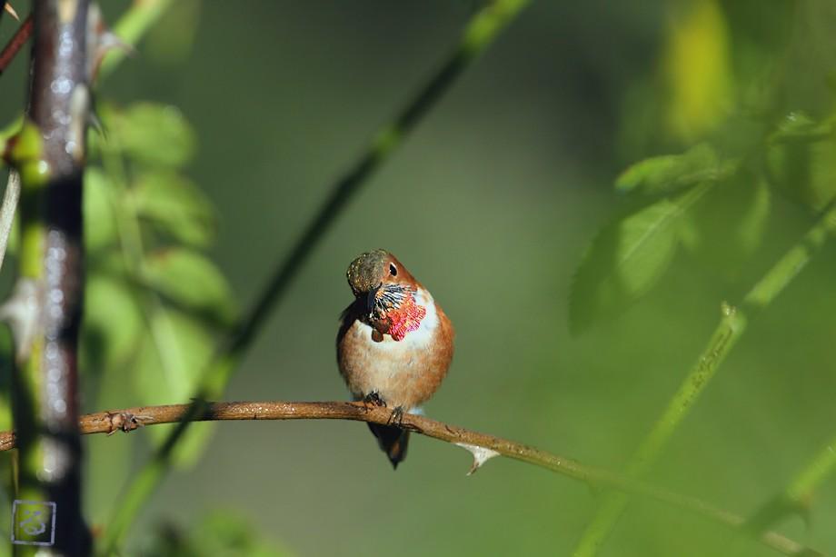 Allen's Hummingbird 10101-7