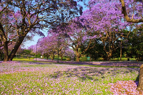 jacarandas by snapper head11, on Flickr