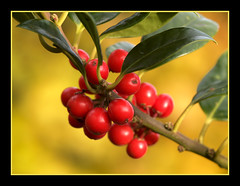 Holly in gold (Jan Gee) Tags: flowers autumn plant macro fall nature colors automne berry colours berries herbst herfst holly shrub bes besjes hulst houx mywinners platinumphoto persephonesgarden