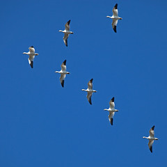 Snow Geese (gordeau) Tags: snow flying geese lookingup lookup gordon seven ashby bigmomma flickrchallengegroup flickrchallengewinner thechallengefactory gordeau