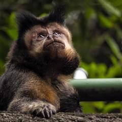 Poser (AdrianoSetimo) Tags: capuchin macacoprego prego monkey 11 olympusomdem10mkii em10mkii panasoniclumixgvario45200mmf4056 45200mm portrait retrato wildlife riodejaneiro nature