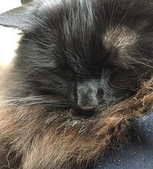 In cold weather, Jasper likes to snuggle into his own fluff :) (sallysetsforth) Tags: sleeping cat jasper weather cf17 explore
