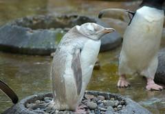 Edinburgh Zoo_ Snowflake (Michelle O'Connell Photography) Tags: penguin edinburghzoo snowflake whitepenguin bird enclosure kingpenguin edinburgh scotland michelleoconnellphotography gentoo