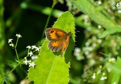 Gatekeeper Butterfly (Claire Louise Beyga) Tags: butterfly butterflies bigbutterflycount ukbutterflies britishbutterflies nature outdoors 5717 explore exploring wild wildlife macro nikon dslr sigma lens