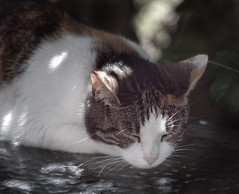 Patches resting in the shade. (01000101) Tags: panasonice gx80 lumix gx85 rokinon85mmf14 ufraw cat pet feline lazy resting