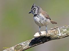 Herrerillo capuchino (Lophophanes cristatus) (5) (eb3alfmiguel) Tags: aves pajáros insectívoros passeriformes paridae herrerillocapuchino