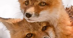 Photo (hellfireassault) Tags: foxes pinterest thed4rkestrose june 20 2017 1225pm 30 0400pm