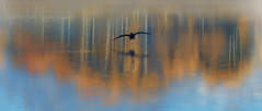 """""""I am a free spirit - either admire me from the ground, or fly with me but do not cage me"""" (PhotoArt Images) Tags: usa wyoming grandteton jacksonhole photoartimages autumn fall autumnreflections bird oxbowbend reflections reflection"""
