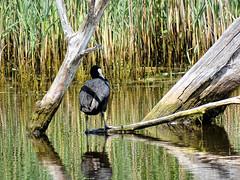 Foulque macroule 03 (jean-daniel david) Tags: oiseau oiseaudeau étang eau lac nature foulquemacroule reflet lacdeneuchâtel réservenaturelle roseau