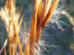 Sunset in the grass (jo.elphick) Tags: nelligen nsw australia grass seeds yellow spiky