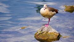 Fauna - 3238 (YᗩSᗰIᘉᗴ HᗴᘉS +6 500 000 thx❀) Tags: oie goose faune fauna 7dwf animal bird meuse namur belgium