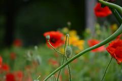 DSC_1369a (Fransois) Tags: jardin garden fleurs flowers pavots poppies granby qc
