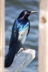 Indigo Blue (mimicapecod) Tags: nature birds florida inspire naturesfinest blueribbonwinner featherweights indigoblue mywinners theperfectphotographer