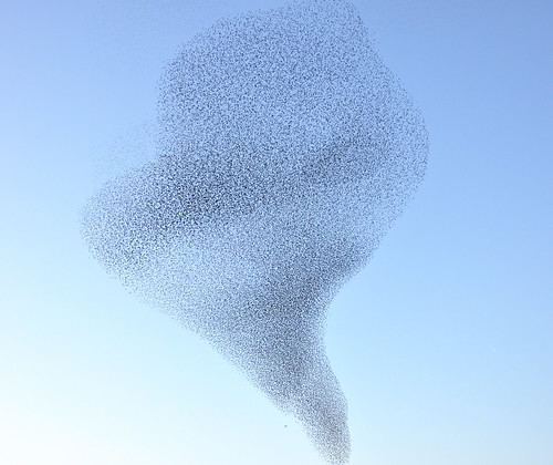 European Starling, flock 1.