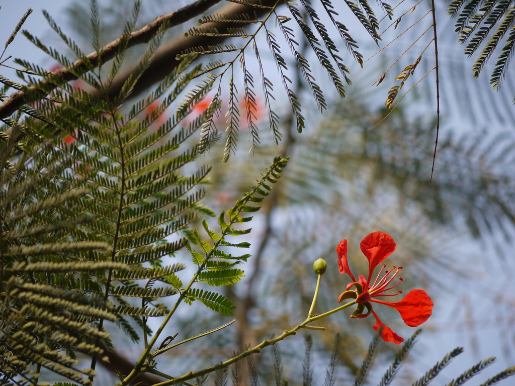 essay on gulmohar tree Gulmohar is an ornament plant also known as flame tree gulmohar is well  tree  or royal poinciana or the peacock flower tree (delonix regia.