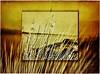 CaNNe aL VeNTo _          ReeDS iN THe WiND (❤ Lilli ❤ OFF) Tags: sardegna lilli rang graziadeledda calasetta cannealvento thesuperbmasterpiece reedsinthewind graphicmaster lillirang yourwonderland theoriginalgoldseal