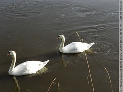 Swans formation swimming