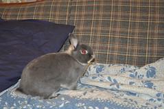 20091217_8 (sensitivebunnyguy) Tags: bunny bunnies netherlanddwarfrabbit cutebunnies santamax cuterabbits cuterabbitphotos cutebunnyphotos nikond5000 lopearrabbits santabunnies santasundae