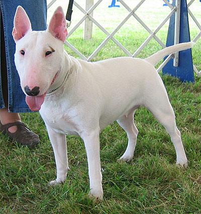 cachorros da raça bull terrier