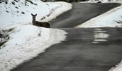 Deer 2/4