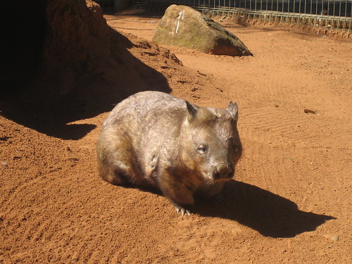 Wombat's Big Brother