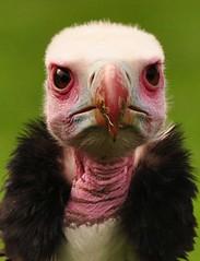 Wollkopfgeier (White-Headed-Vulture) (Skippy The Other Bush Kangaroo) Tags: searchthebest specanimal onephotoweeklycontest
