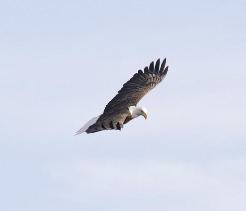 bald eagle_9
