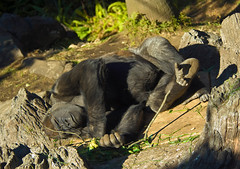 Napping Gorilla (aeschylus18917) Tags: sleeping nature japan zoo tokyo nikon nap gorilla sleep wildlife ape   primates 80400mm uenozoo potofgold nkon 80400mmf4556dvr hominidae gorillagorillagorilla  d700 80400mmf4556vr onshiuenodbutsuen nikond700 danielruyle aeschylus18917 danruyle druyle  gorilagorilla
