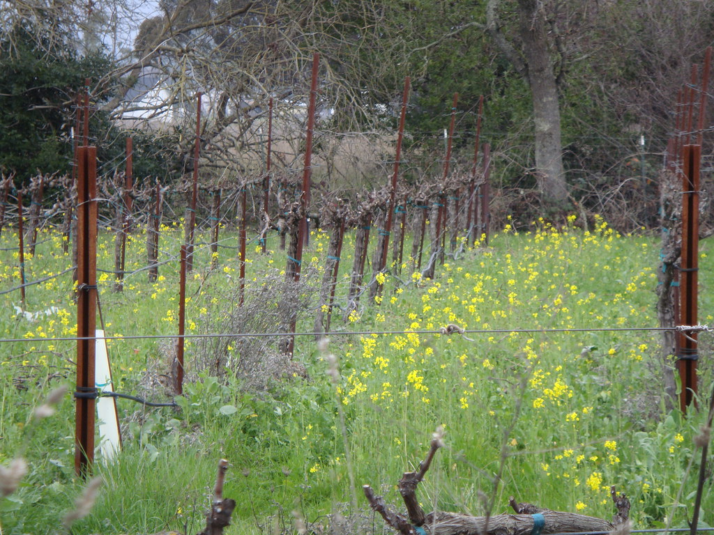 Mustard blooming in the vineyard