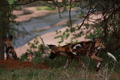 Riverbank Wild Dogs