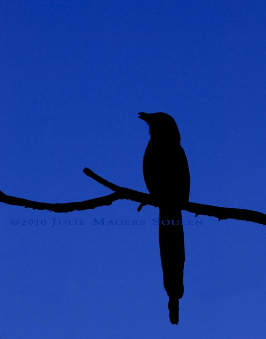 A black silhouette of a black-billed magpie perched on a single branch and set on a background of a deep azure evening sky.