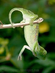 Graceful Chameleon (M.D.Parr) Tags: africa nature animals kenya reptile wildlife chameleon reptiles malindi turtlebay martinparr naturephotos natureimages chamaeleogracili gracefulchameleon