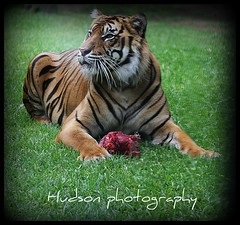 bengal tiger - australia zoo (bluecrush1979) Tags: cat zoo tiger stripe australia bengal bigcats maneater