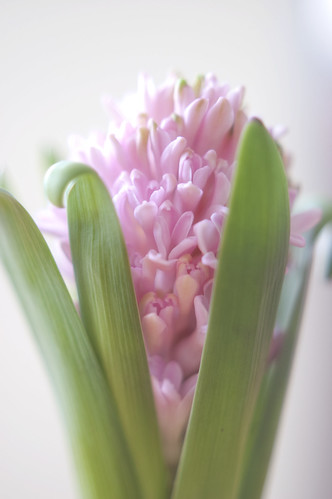 368:1000 Hyacinth - day two
