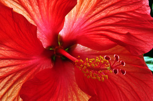 121 0029 1 72 - Red Hibiscus Flower